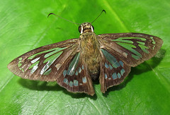 Phanus vitreus (Over 5 million views!) Tags: butterfly hesperiidae peru phanusvitreus butterflies insect
