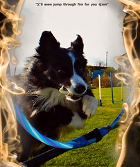 I'll even jump through fire for you... (ASHA THE BORDER COLLiE) Tags: funny dog picture caption hoop fire inspirational ashathestarofcountydown connie kells county down photography