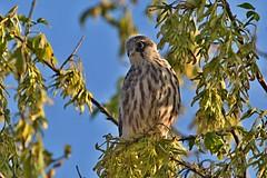 R91A5802 (chavko) Tags: bird hawk chavko falco vespertinus redfooted falcon slovakia sky animal people photo wildlife tree