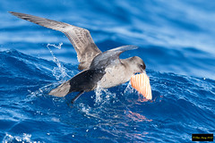 Wedge-tailed Shearwater (Puffinus pacificus)) (Dave 2x) Tags: puffinuspacificus puffinus pacificus wedgetailedshearwater wedgetailed shearwater sydney pelagic sydneypelagic nsw australia leastconcern inflight