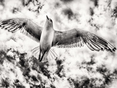 Transparent Wings (Peter Polder) Tags: australia beach birds clouds coast exterior feathers seagulls sky landscape monochrome mono ocean overcast skyline sydney sea t