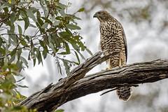 Brown Goshawk 2018-12-13 (7D_182A2953) (ajhaysom) Tags: browngoshawk accipiterfasciatus woodlandshistoricpark greenvale canoneos7dmkii tamron150600mmf563divcusdg2 australia australianbirds melbourne