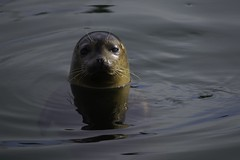 Inquisitive (joegeraci364) Tags: atlantic connecticut harbor seal stonington animal art beach coast color cute fine happy mammal marine nature ocean photo photography print rock sea shore water wildlife winter sony sigma
