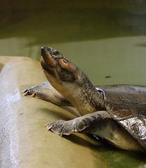South American River Turtle (Podocnemis expansa) (Colin Pinchen) Tags: podocnemisexpansa arrau turtle giant south american amazon river sideneck crocodileworld world reptile oxfordshire england colin pinchen