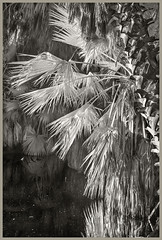 Agua Caliente IR #9 2018-19 (hamsiksa) Tags: tucson arizona aguacalientepark pimacounty desert sonorandesert plants flora vegetation palms palmae mexicanfanpalms botanicals blackwhite infrared digitalinfrared infraredphotography