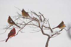 Cardinals in Snow (timvandenhoek1) Tags: cardinal cardinals bird animal japanesemaple snow snowing winter timvandenhoek midwest missouri sonyilce6000 focal135mmf28mcmount focuspeaking manuallens snapseed