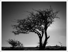 brean-down-1100784b+w-170119 (Peadingle) Tags: brean down somerset black white bw tree