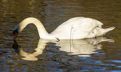 Gespiegelt (KaAuenwasser) Tags: schwan wasser wasservogel vogel spiegelung see oberfläche federn tier himmel blau