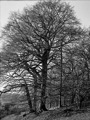 Copse of Trees over Stonegrave (jhotopf) Tags: tessar105mmf45 zeiss5302f45 pyro berggerpmk uk gb stonegrave northyorkshire monochrome noiretblanc blancoynegro blackwhite ilfordfp4 6x9 zeisssuperikonta 5302