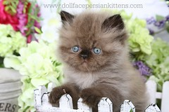 Cute Kittens (dollfacepersiankittens.com) Tags: himalayan kittens himalayans color point for sale doll face traditional photography cutekittenpictures cutecatpictures cutekittens cutecats chocolate