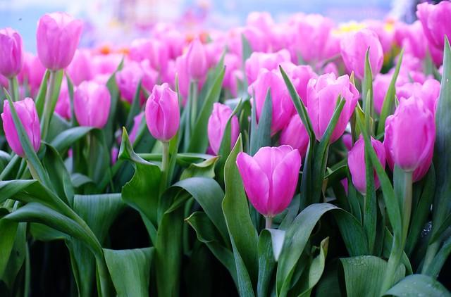 Обои цветы, тюльпаны, розовые, pink, flowers, tulips картинки на рабочий стол, раздел цветы - скачать
