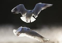 Back-lit Gulls (Paul Miguel) Tags: bird fillflash goldenacrepark january wildlife backlit backlighting gulls paul miguel
