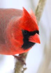 Northern Cardinal (wvsawwhet) Tags: cardinal redbird northerncardinal westvirginia wv westvirginiabirds marioncounty fairmont bird birding birds birdwatching birdsofwestvirginia