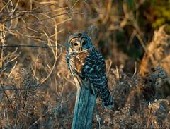 Barred Owl At Sunset (antonfalco2) Tags: owl owls bird birds raptor raptors wildlife birdsofprey nature landscape sunset ontario forest tree trees art light orange green canada hike animal barredowl