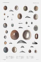Sea snail varieties vintage poster (Free Public Domain Illustrations by rawpixel) Tags: animal antique aquatic art augustus augustusaddisongould beach book cc0 creativecommons0 creature decor decoration design drawing expedition free gastropod gould illustration images life limpet lottia marine mediterranean mollusc molluscashells mollusk name nautical northatlantic ocean old painting patella picture poster print publicdomain science scientific scientificexpeditions sea seasnail seafood seashell shell species vintage zoology