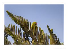 Oops, He's Spotted Us! (JohnKuriyan) Tags: bangalore karnataka india roseringedparakeet