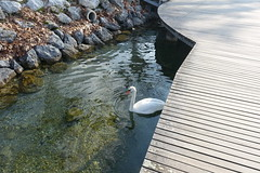 Swan @ Lake Annecy @ Petit Port @ Annecy-le-Vieux (*_*) Tags: europe france hautesavoie 74 annecy annecylevieux january winter hiver 2019 morning lac lake petitport lacdannecy lakeannecy sunny savoie fog swan cygne