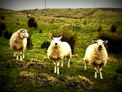 English Sheep (soniaadammurray - On & Off) Tags: manipulated experimental collage photoshop abstract collaboration lindseyulanowsky artchallenge exterior england smileonsaturday sheep