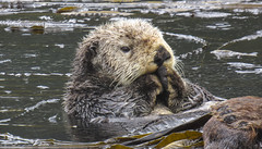 Otters a-plenty (ExpeditionTrips) Tags: brandye lindblad cruise alaska national geographic sea bird southeast inside passage tracy arm fjord expeditiontrips adventure travel