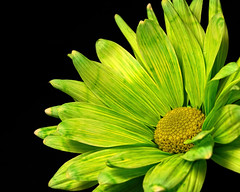 Single Green Daisy 0906 (Tjerger) Tags: nature flower bloom blooming daisy plant natural flora floral blackbackground beautiful beauty black green wisconsin macro closeup yellow single summer