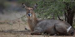 Stately female Waterbuck (leendert3) Tags: leonmolenaar southafrica krugernationalpark wildlife nature mammals waterbuck ngc npc coth5