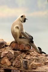 introspection (daniel virella) Tags: monkeys ranthambore ranthamborefort रणथम्भोर दुर्ग unesco hillfortsofrajasthan rajasthan worldheritagesite india bharat राजस्थान भारत langur picmonkey