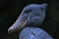 Shoebill portrait (supersky77) Tags: entebbe zoo uganda africa bird uccello birding birdwatching shoebill balaenicepsrex