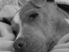 I know what you're up to (CheapS90) Tags: dog dogs pitbull bw