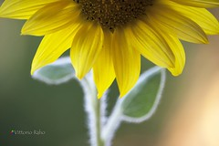 Un po di sole. (Vittorio Raho) Tags: girasole sole photography nature naturephotography flower