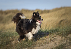 Gibson ...January 1st. (redshift1960) Tags: gibson bordercollie sand beach dunes dog canon 5dmk3