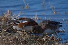 DSC_4569 -1 (Jack_NE) Tags: nikon d7500 ducks