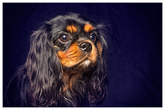Melody (Pepenera) Tags: dogs dog cane cani cavalier portrait