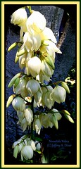 Noontide Yucca (2) (The Victorian) Tags: imaginarygardens flowers gardens white yucca