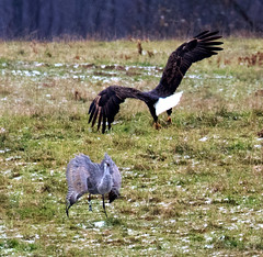 1-Sandhill Crane Interacting with an Approaching Bald Eagle (ksblack99) Tags: baldeagle sandhillcrane antigonecanadensis haliaeetusleucocephalus