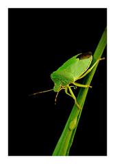 Palomena prasina (Bertuś) Tags: macrophotography makro makrofotografia macro fujifilm robertkubacki przyrodapolska poland insectphotography insect naturephotography bugs