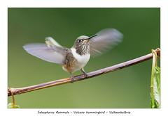 Volcano hummingbird (Jan H. Boer, Nature photographer) Tags: selasphorusflammula volcanohummingbird vulkaankolibrie birds hummingbirds nature wildlife highlands costarica sangerardodedota nikon d500 afsnikkor200500f56eedvr jan´sphotostream2018