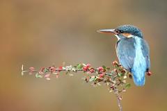 Female Kingfisher (bilska.anna) Tags: