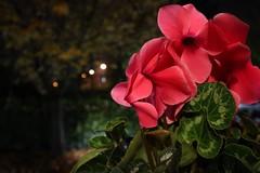 Nel mio giardino (c.colombini) Tags: november 26novembre2018 colors evening sera ciclamino flower inmygarden