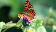 Polygonia c-album (roland_tempels) Tags: flower butterfly vlinder supershot nature