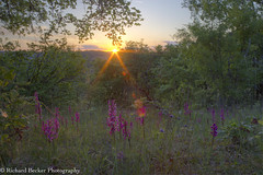 Early Purple Orchids (Richard Becker Photography) Tags: