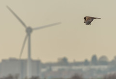 Rainham 04.12.18 Flying Marsh Harrier