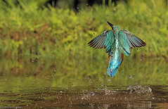martin pescatore, kingfisher ... (margit-luitpold2005) Tags: explore kingfisher bird colourful wings feathers fishing diving water waterdrops wildlife nature