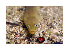 Anguille (Gaël Photosub) Tags: eaudouce subaquatique corse animal poisson