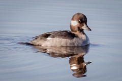 Female Bufflehead (tresed47) Tags: 2018 201812dec 20181211bombayhookbirds birds bombayhook bufflehead canon7dmkii content december delaware ducks fall folder peterscamera petersphotos places season takenby us