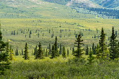 Sparse boreal forest in Denali National Park near the Savage River (m01229) Tags: alaska rock sunny natural alpine nature reflection denali hills savageriver borealforest trees summer alaskarange remote scenic sky valley braidedriver basin landscape plants nationalpark mountains tundra outdoor clouds denalinationalpark beautiful travel light hiking ak river green pretty tourism wilderness mountain