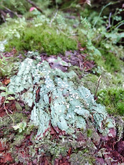 Green life (Ruth and Dave) Tags: whistler whistlerblackcomb cheakamusvalley trashtrail temperaterainforest forest floor moss lichen fungi green mould deadwood deadfall rotting decaying