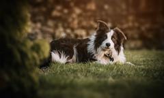 Shep Aged 8 months (Samantha Nicol Art Photography) Tags: dog puppy sheep portrait pet farm samantha nicol art border collie