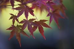 Rita Crane Photography:  Celebration of Nature ~ Japanese Maple I (Rita Crane Photography) Tags: japanesemaple macro leaves nature botanical tree ritacranephotography wwwritacranestudiocom