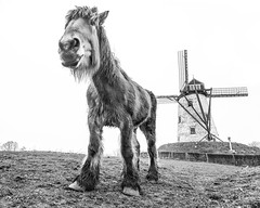 The Gentle Giant guards his windmill (Drummerdelight) Tags: gentle giant blackwhite horse lowpov pov wideangle damme windmill