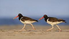 Oystercatcher Pair (Cameron Darnell) Tags: canon wildlife wild bird newjersey beach image photography birds birding americanoystercatcher oystercatcher camerondarnell